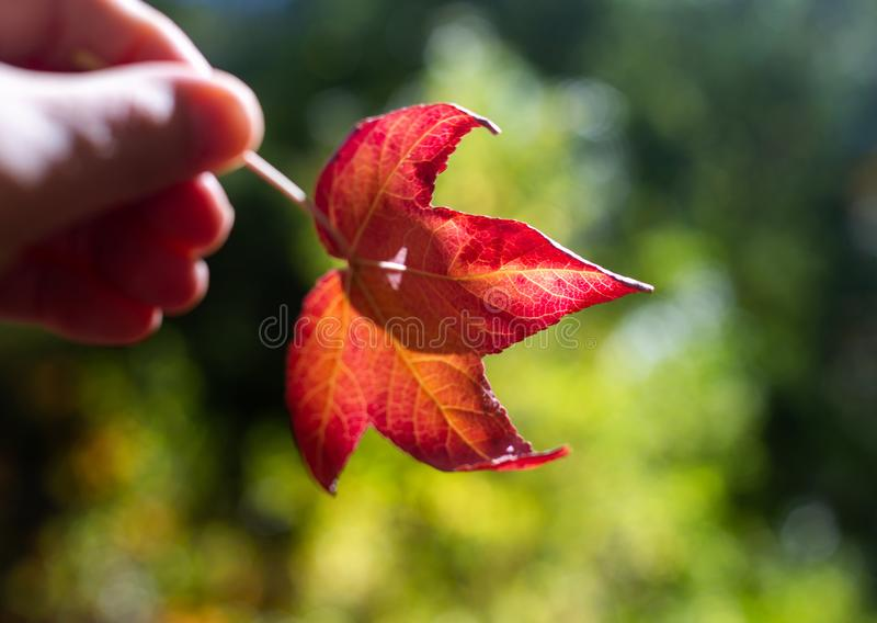 A Red leaf being held during autumn fall season at mount lofty botanical gardens south australia on 16th April 2019 royalty free stock images