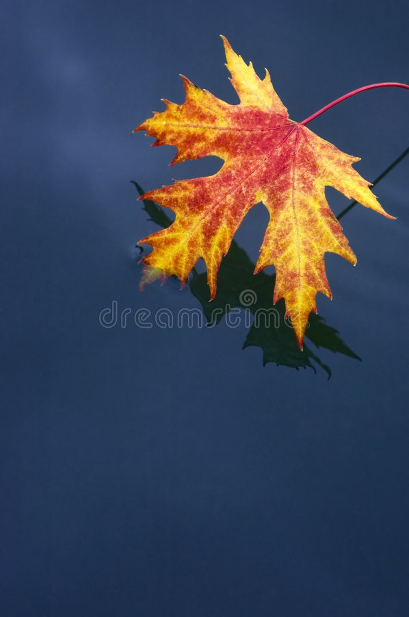 Red leaf in blue water royalty free stock photo