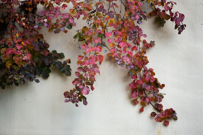 Red leaf climbing vine plant. Red leaf cling vine plant cement wall stock images