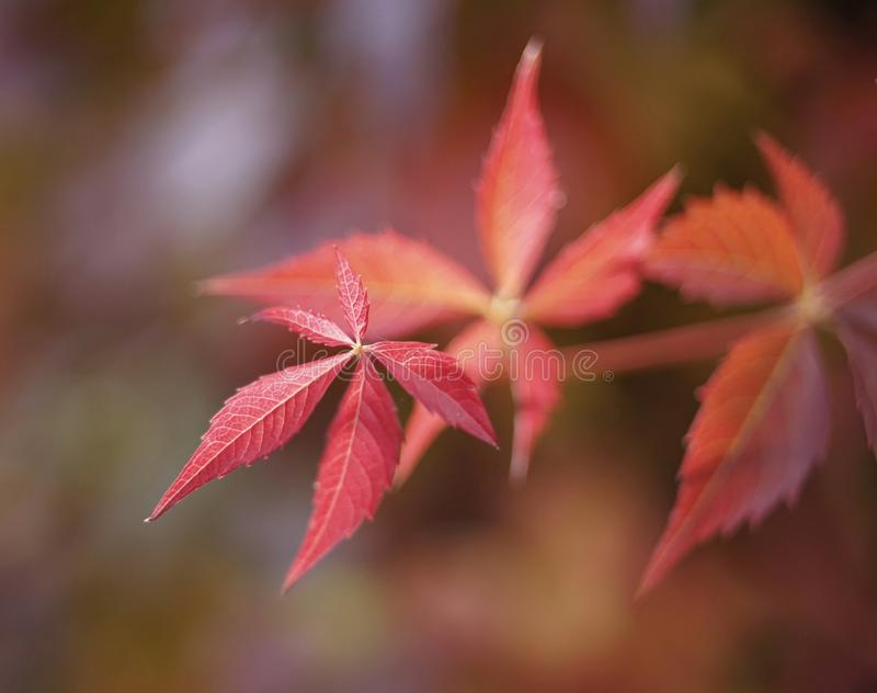 Red leaf close-up macro bokeh background outdoor garden plant. Autumn royalty free stock photography