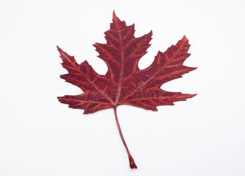 Red leaf isolated white background stock photo