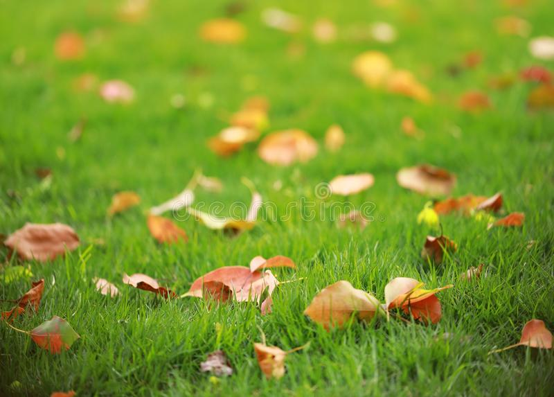 Red leaf leaves maple on green grass lawn in summer spring autumn fall winter park garden at sunny day. Red leaf leaves maple on green grass lawn in summer royalty free stock photography
