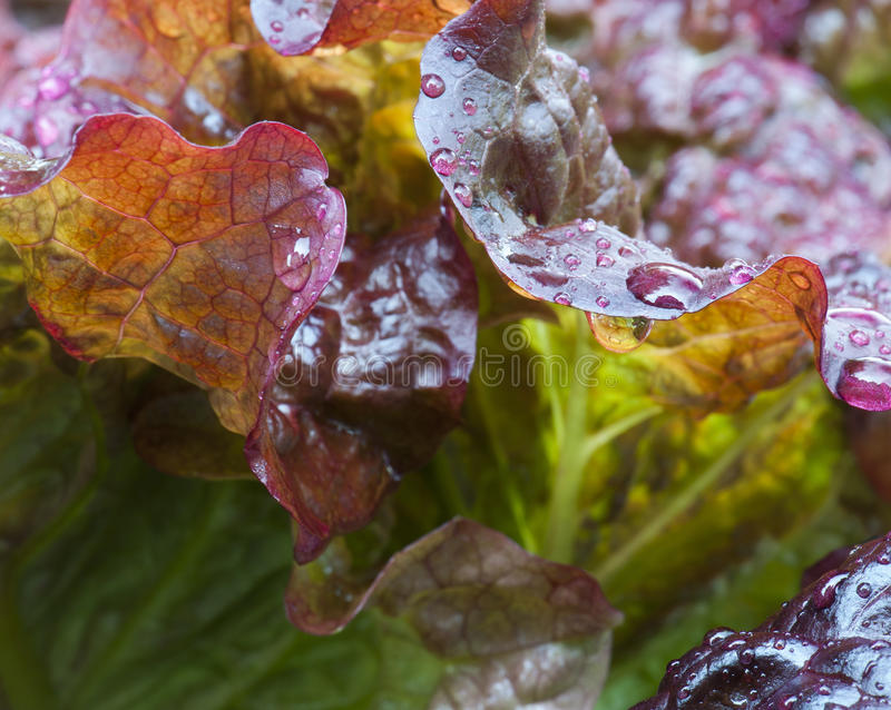 Red Leaf Lettuce royalty free stock photos