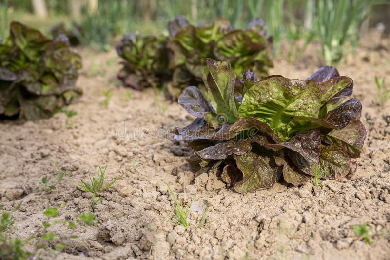 Red leaf lettuce on garden bed in vegetable field in Bulgaria. Lactuca sativa leaves, closeup. Leaf Lettuce plantation. stock photo
