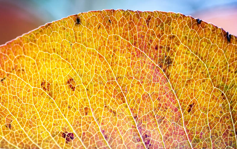 Red Leaf. Leaf Macro View red and selective focus royalty free stock image