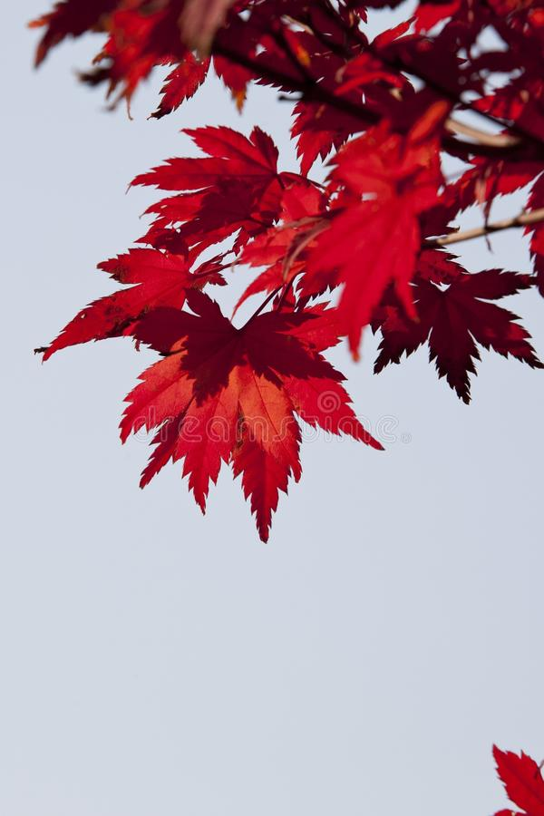 Red, Leaf, Maple Leaf, Tree royalty free stock photos