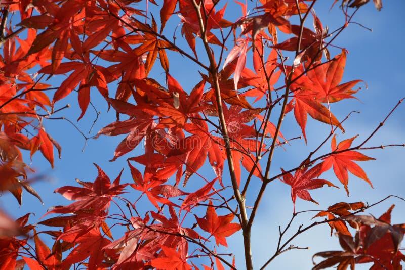 Red, Leaf, Maple Leaf, Tree stock image