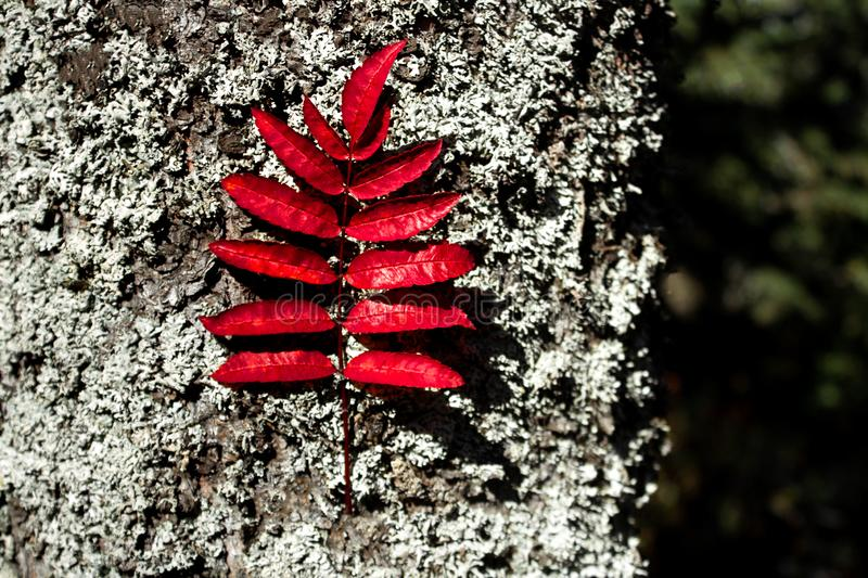 Red leaf of mountain ash on the background of tree bark, natural texture, the concept of autumn and back to school stock photo