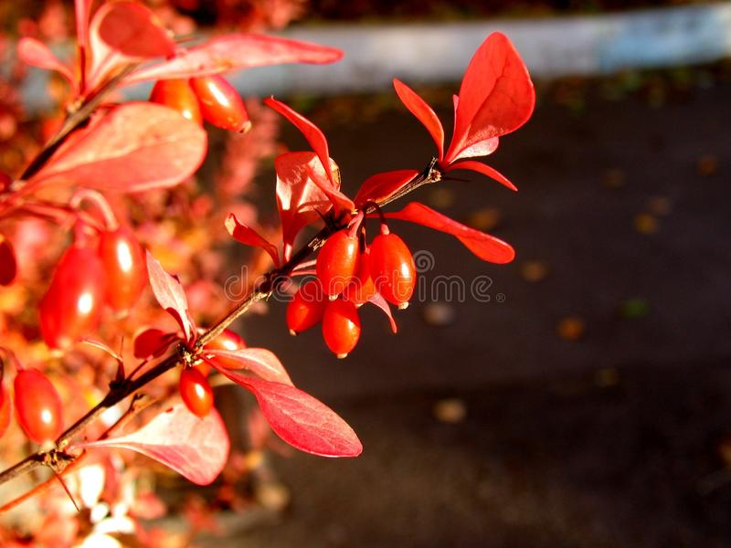 Red, Leaf, Plant, Branch royalty free stock photos