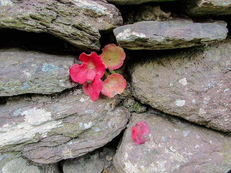 Red Leaf Plant growing in Dry Stone Wall. This is a picture of a red leaf plant sprouting out of a dry stone wall royalty free stock photo