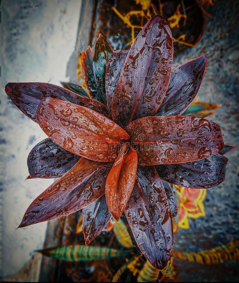 Red leaf plant from India with water  droplets on plant royalty free stock photo