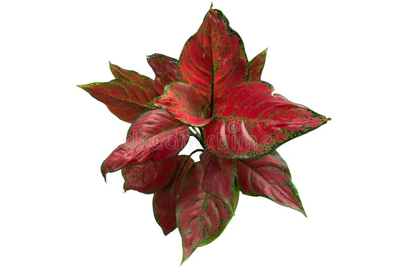 Red leaf plant isolated on white background. Small red leaf plant isolated on white background stock photos