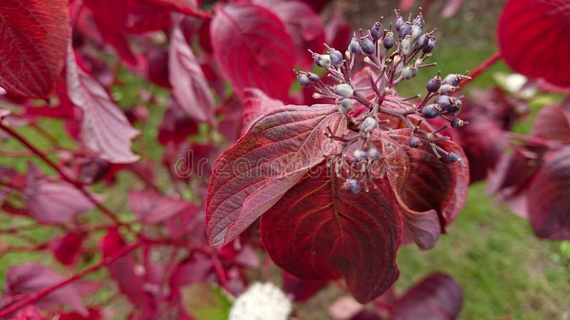 Red leaf plant. A summer red leaf plant showing closeup of flower buds royalty free stock photo