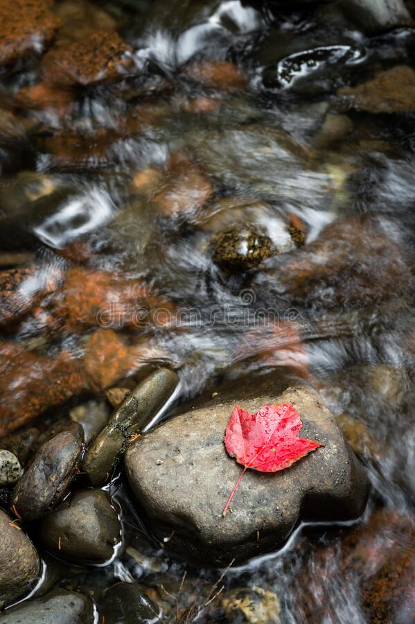 Red Leaf on Rock in Flowing Stream stock photography