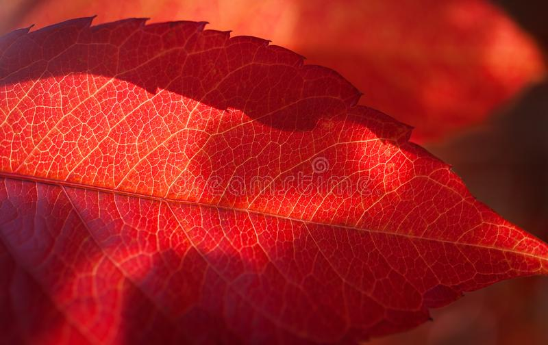 Red leaf texture background grape, vine. Autumn background royalty free stock photos