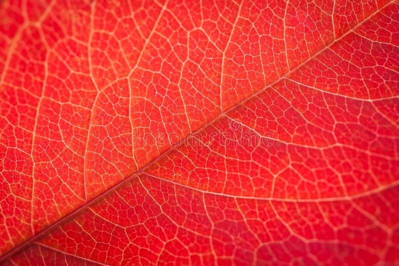 Red leaf texture background grape, vine. Autumn background stock image