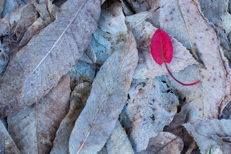 Red leaf on top of brown frozen leaves. Red leaf contrasts on top of brown frozen leaves royalty free stock photo