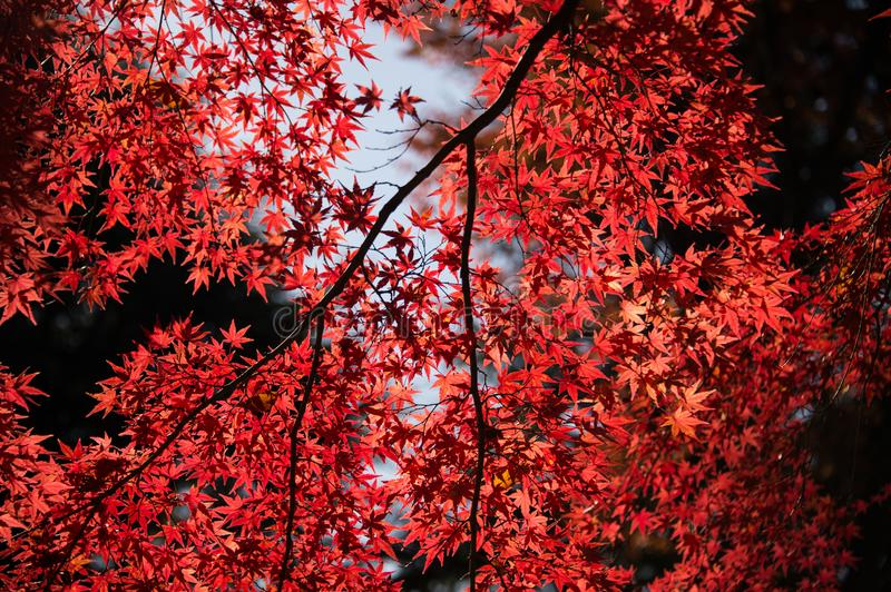Red Leaf Tree royalty free stock images