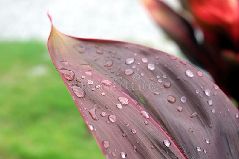 Red leaf with water drops. On a rainy day royalty free stock photos