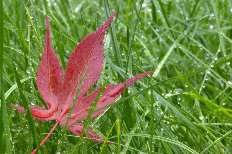 Download Red leaf and wet grass stock image. Image of april, downpour - 6268817