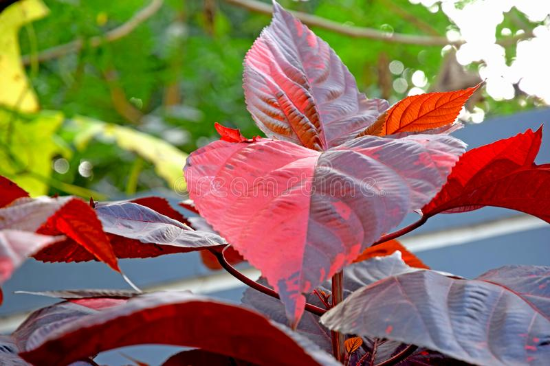 Red-leafed Acalypha wilkesiana royalty free stock photography