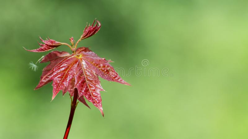 Young leaves of Japanese maple. Acer palmatum royalty free stock image