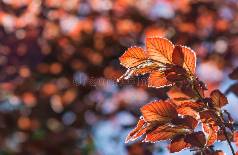 Red Leafs. With blurry background royalty free stock image