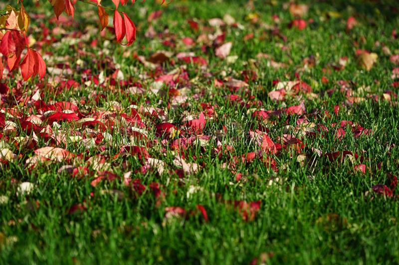 Red leafs on green grass stock photography