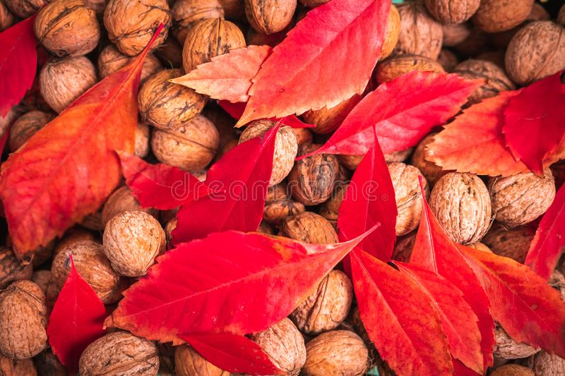 Red leafs and walnuts stock photography
