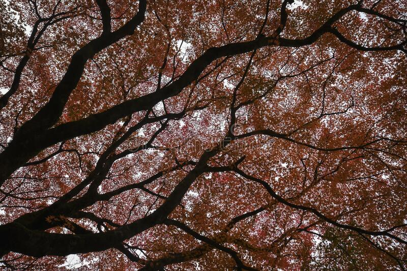 Red leave of maple tree for autumn stock photography