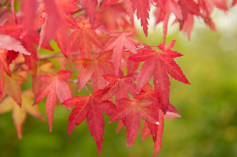 Red leaves stock image
