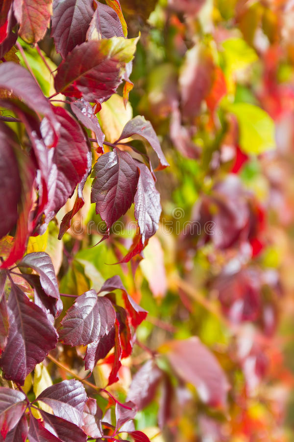 Download Red leaves stock image. Image of bush, grapes, grow, outdoors - 22562915