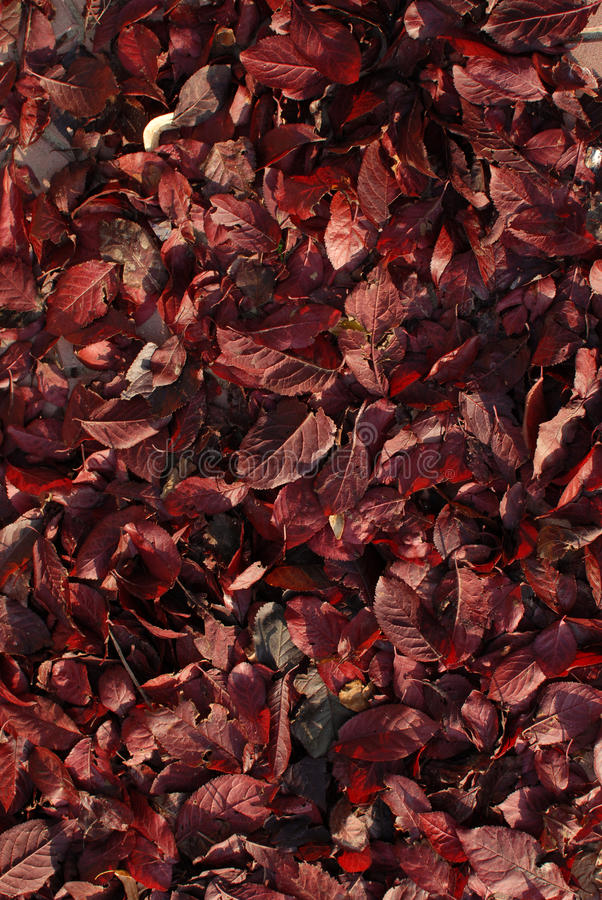 Red Leaves Texture Stock Photography