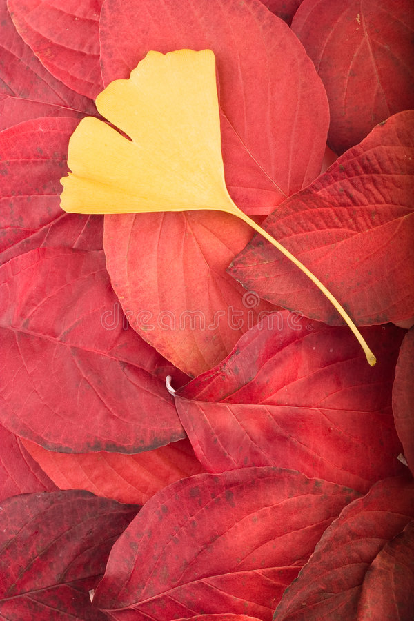 Free Red Leaves And Gingko Biloba Leaf Autm Background Stock Image - 7060621