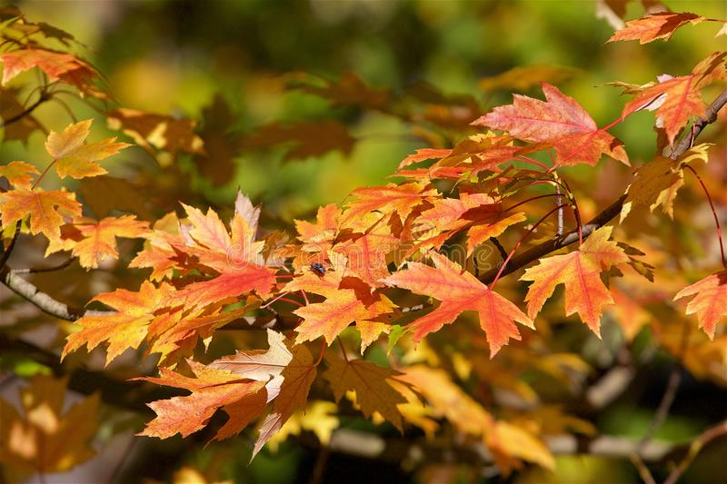 Autumn foliage. Red leaves in autumn - autumn foliage royalty free stock image