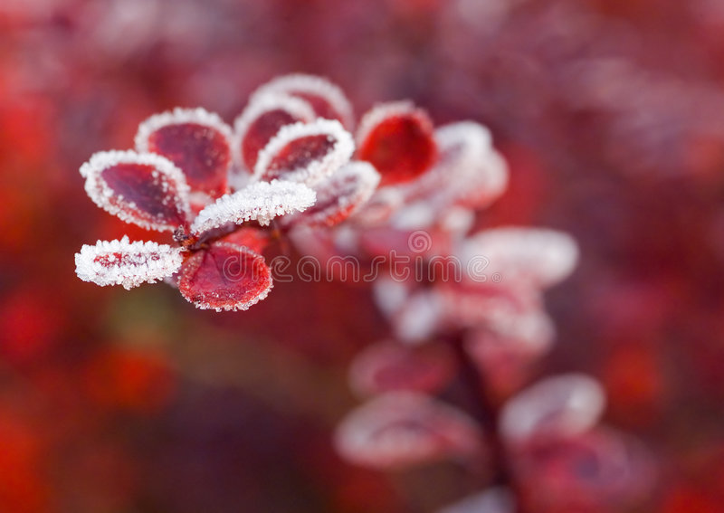 Red leaves of Berberis. Shrub in the fall wth frost stock photos