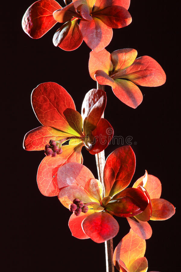 Red Leaves And Blossoms Royalty Free Stock Images