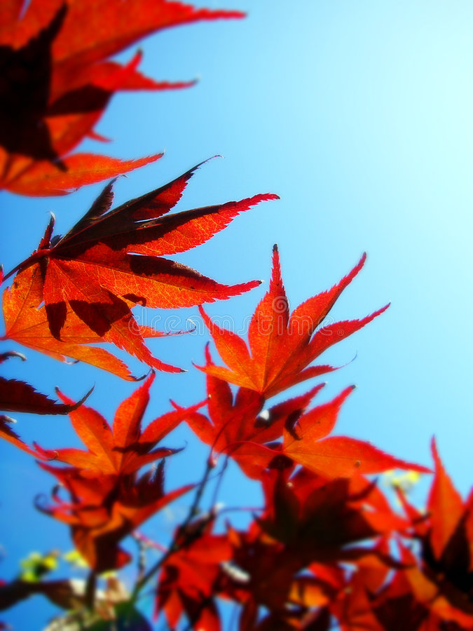 Free Red Leaves Blue Sky Stock Photo - 1476900