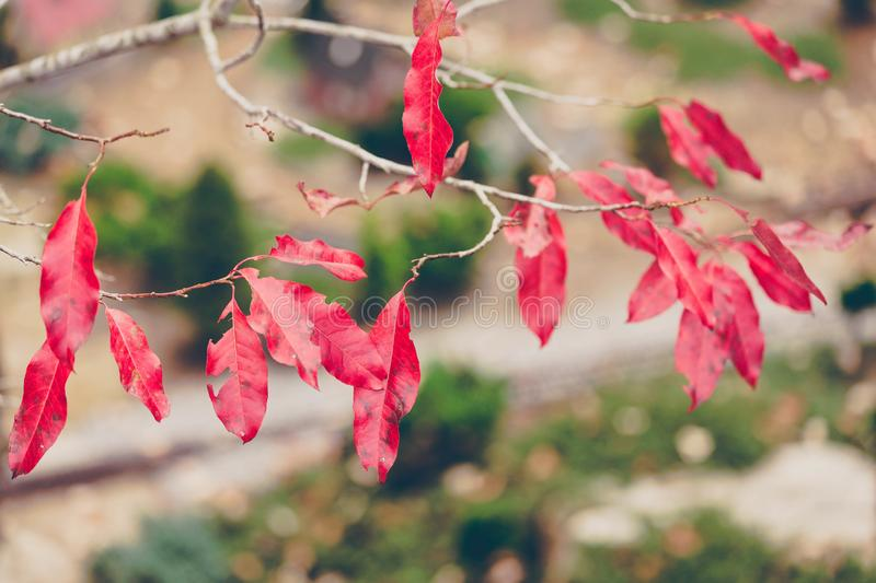 Red Leaves on Branch stock images