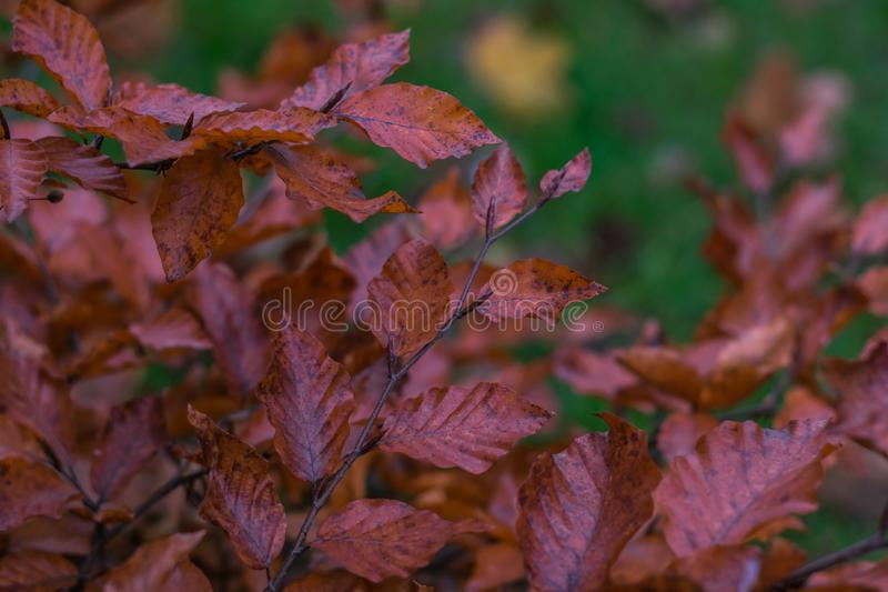 The red leaves on the branches of a bush on a blurred background of green grass. Photo of red leaves on the branches of a bush on a blurred background of green stock photography