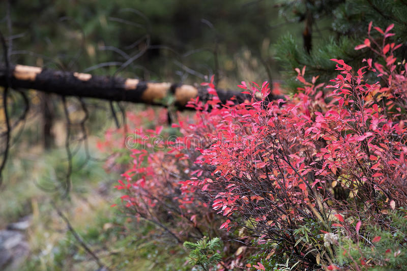 Red leaves on a bush in a forest stock images