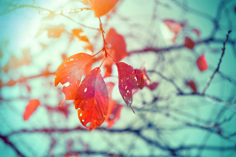 Red leaves dry tree in autumn season vintage stock photo