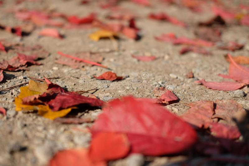 red leaves on the ground in autumn royalty free stock image