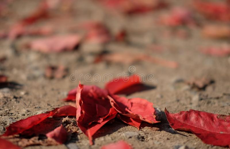 red leaves on the ground in autumn stock photo