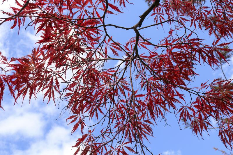 Red leaves of the Japanese maple Acer palmatum. Red leaves of Japanese maple for background Acer palmatum stock images