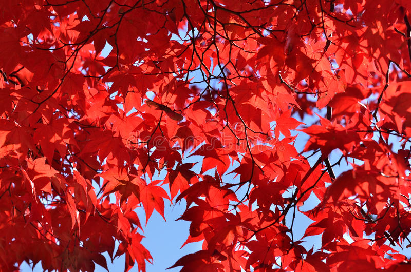 Red leaves of maple tree, Kyoto Japan. royalty free stock photography