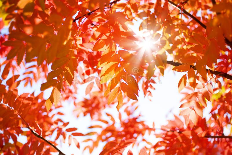 Red leaves of mountain ash in the sun. Bright autumnal background with red leaves of mountain ash in the sun royalty free stock photography