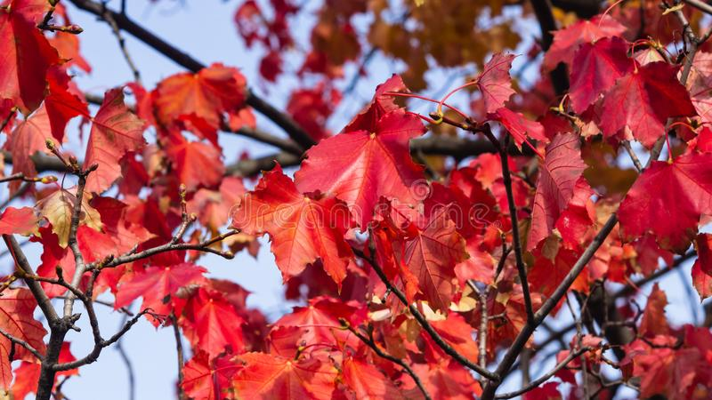 Red leaves of Norway Maple, Acer platanoides, in autumn sunlight background, selective focus, shallow DOF. Red leaves of Norway Maple or Acer platanoides in stock image