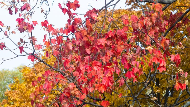 Red leaves of Norway Maple, Acer platanoides, in autumn sunlight background, selective focus, shallow DOF. Red leaves of Norway Maple or Acer platanoides in stock images