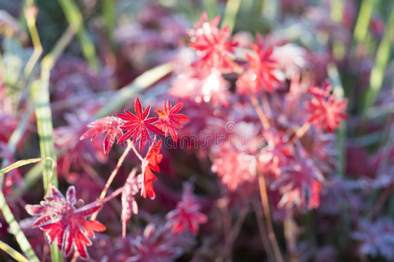 Red leaves of the plant Aconite with various shades, covered with frost. Background royalty free stock photography
